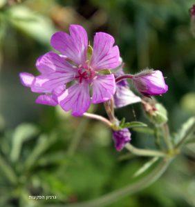 פרחים בשלב מיני נקבי של גרניון הפקעות, המקדים להתבגר. תמונה: ערגה אלוני ©