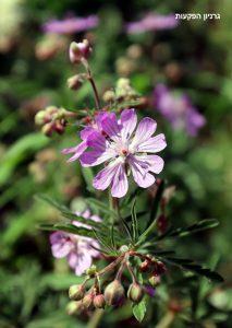 גבעולים נושאי פרחים של גרניון הפקעות. תמונה: ערגה אלוני ©