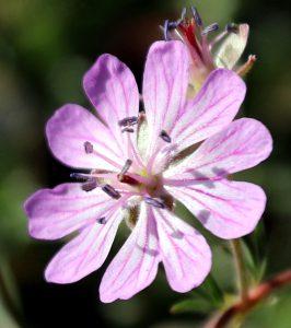 פרח גרניון הפקעות בשלב מיני זכרי. תמונה: ערגה אלוני ©