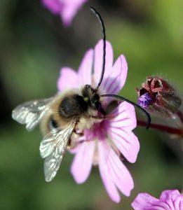 זכר של מחושית-דבורה בודדת, מאביקה פרח של גרניון הפקעות. תמונה ערגה אלוני ©