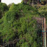 אספרג אפריקאי מטפס על גדר תחנת הדלק בואכה מושב בית חנן. צילם דרור מלמד ©