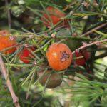 פרי ועלים של אספרג אפריקאי, בית-חנן. צילם דרור מלמד ©