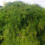 שיחי אספרג אפריקני מכסים עצי הדר בחלקת פרדס נטוש ליד מושב בית חנן. צילם עופר הוכברג ©