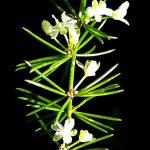 אספרג אפריקני (Asparagus africanus), מין פולש ותיק אך לא מוכר