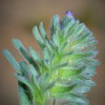 ארנבית הצבעים, צילם א.שפירא ©