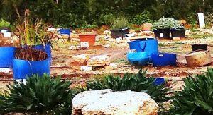 שימוש במיכלים כדי למנוע אכילת שורשים, גן המקלט השרוני בחורף 2018, צילם עמיר פז ©