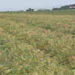 שדה חקלאי של חומוס על חמרא ליד עתלית, צילמה ערגה אלוני ©