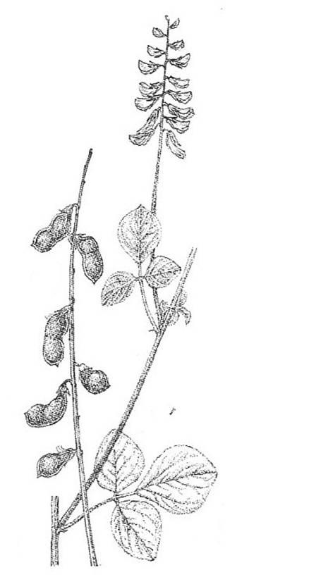 חרטום זעיר – הצמח הסודני האחרון אשר נכחד מאזור ים-המלח גדל במזרח סיני וניתן לאזרחו משם