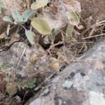 """צמח יבש של חמצת ביגוגום (מין ח""""ש מדר.מז.תורכיה) עם פרי שלא מתפרק,צילם שלח עבו ©"""