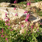 ציפורנית ארץ-ישראלית, צילם עוז גולן ©