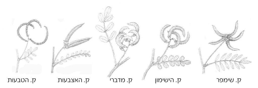 קדד הטבעות ומינים קרובים לו. מתוך הפלורה של מצרים 1999-BOULOS