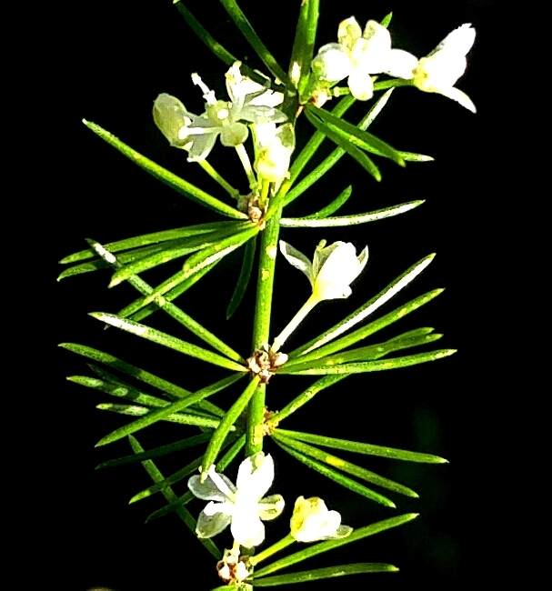 Read more about the article אספרג אפריקני (Asparagus africanus), מין פולש ותיק אך לא מוכר