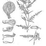 חמצה מקראקנטום Cicer makracanthum בעלת עלי-לוואי קוצניים מאזור קבול באפגניסטן, מתוך Maersen 1972