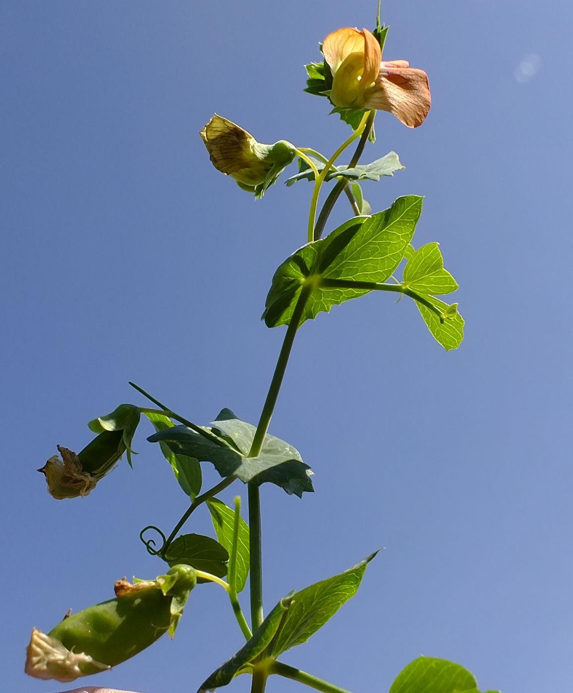 """אפון מצוי- צמח חודש אדר ב תשע""""ט"""
