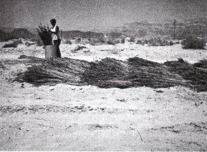קציר ראשון של צמחי הסמר, 1967