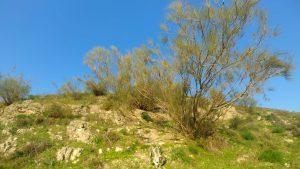 רותם המדבר ליד מושב כנף. צילם אורי שפירא ©
