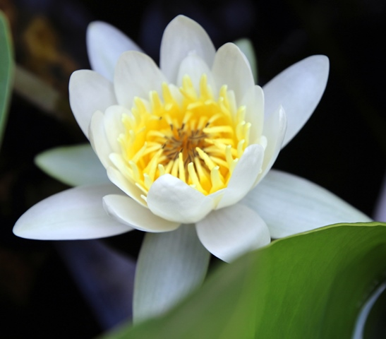 נימפיאה לבנה Nympahaea alba צילמה: ערגה אלוני ©