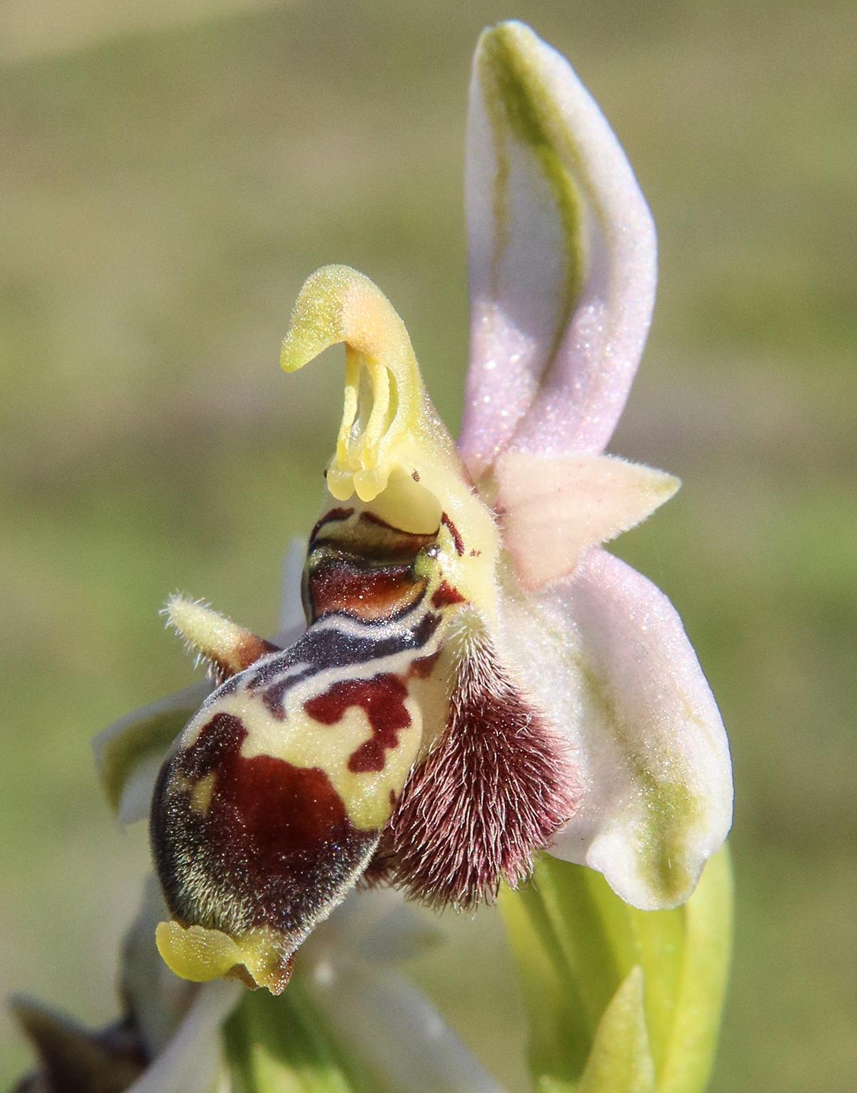דבורנית החרמון. צילם: עוז גולן©