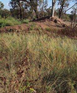 תמונה 2. א. עומדים צפופים של צמחי המופע הענק בשפך נחל רובין, צילם: דרור מלמד©.