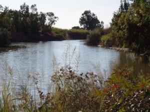 תמונה 2.ב. צמחי ענק בשפך נחל רובין - התפרחות מפושקות ורפויות, צילם: דרור מלמד©.