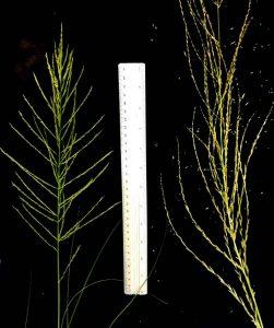 תמונה 4. א. תפרחות של דו-מוץ חום מצמח בעל המופע הרגיל (משמאל) ומצמח הענק (מימין), צילם: עופר הוכברג©.