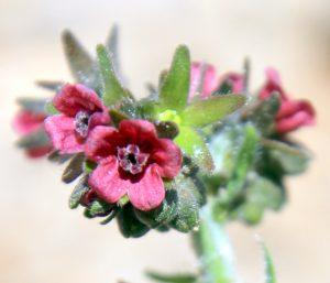הגביע הכותרת והקשקשים הסוגרים על פתח הפרח שללשון-כלב הררית. צילמה ערגה אלוני ©