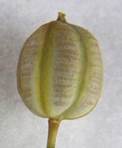 פרי של צבעוני החרמון. תמונה ע. גולן ©