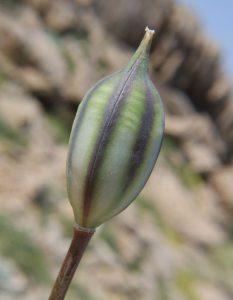 פרי של צבעוני נמוך. תמונה ע. גולן ©