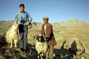 זכרי כבש בכורדיסטן. צילם אבי שמידע © 1969