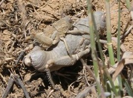 זכר קטן של סלעם החרמון מזדווג עם נקבה גדולה. צילם א. שפירא ©
