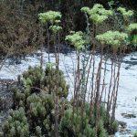 """עמודי תפרחת של צורית גבוהה. תמונה יעקב גרזון באדיבות """"צמח השדה"""" ©"""