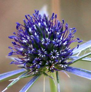 השלב הזכרי בפרחי הקרקפת של חרחבינה מכחילה. תמונה ערגה אלוני ©