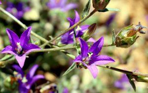 """פרחים מואבקים ע""""י חרקים. תמונה ערגה אלוני ©"""