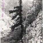 עץ הברוש המצוי הירוק וחי הגדל במצוק הפונה צפונה של נחל שרך, 1974. לדברי שוקה תמונה זו צולמה ב1974 על ידי יגאל סלע