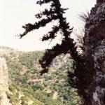 """עץ הברוש המצוי הירוק וחי הגדל במצוק הפונה צפונה של נחל שרך, 1989. צולם ע""""י שוקה רווק ©"""