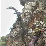 """עץ הברוש המצוי הירוק וחי הגדל במצוק הפונה צפונה של נחל שרך, 2008. צולם ע""""י שוקה רווק ©"""