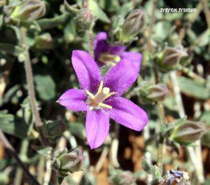 שלב הבשלה זכרי בפרח. תמונה ערגה אלוני ©