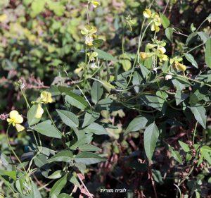 עלים ותפרחות של לוביה מצרית. תמונה ערגה אלוני ©