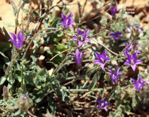 צמח פעמונית אמיתית שרוע במדרון. תמונה ערגה אלוני ©