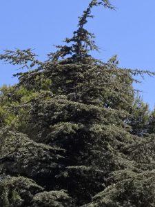 ארז הלבנון, הר-גילה 8.8.19. צילם א. שמידע ©