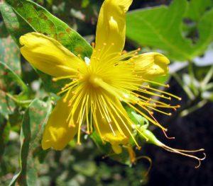 פרח פרע ריחני הוא דו מיני. תמונה ערגה אלוני ©