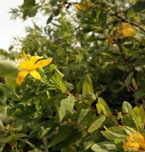 גבעול של פרע ריחני. תמונה ערגה אלוני ©