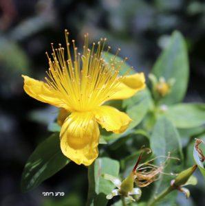 פרח ופרי של פרע ריחני. תמונה ערגה אלוני ©
