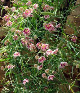 אחי-חרגל בעל גבעולים דקים, עלים פשוטים מוארכים ופרחים רבים. תמונה איתן שפירא ©