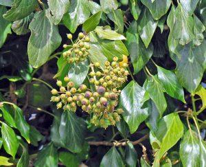 פירות שטרם הבשילו. תמונה ליאור אלמגור ©