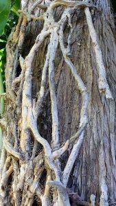 שרידי ענפי קיסוס החורש אחוזים על גזע עץ ברוש. תמונה ערגה אלוני ©