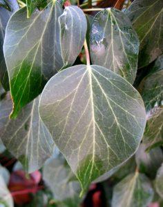 """ענף בוגר בעל עלים מעוגלים. תמונה שרה גולד, באדיבות """"צמח השדה"""" ©"""