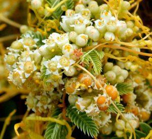 פרחים ופירות של כשות השדות. תמונה ערגה אלוני ©