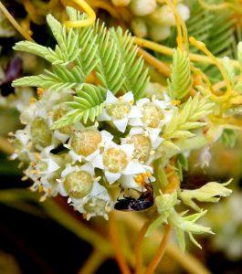 כשות השדות בפריחה. תמונה ערגה אלוני ©