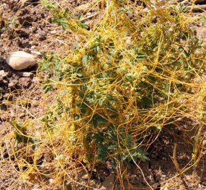 שות השדות נטפל על ינבוט השדה. תמונה ערגה אלוני ©